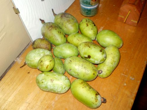 pile of ripe paw paws