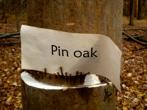 pinoak2