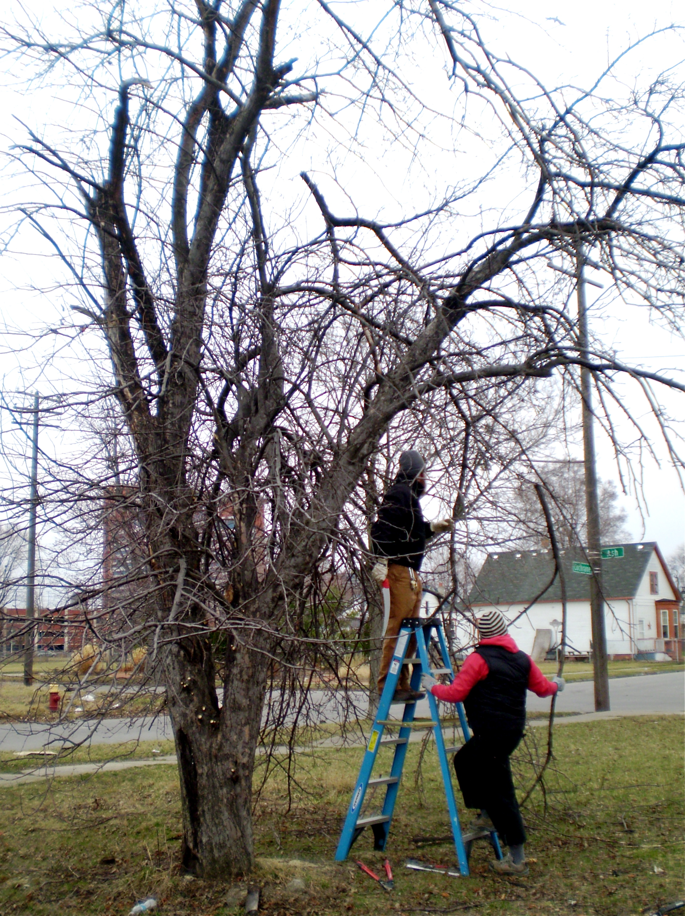 Pruning Fruit Trees In Vacant Lots For Dave Little House