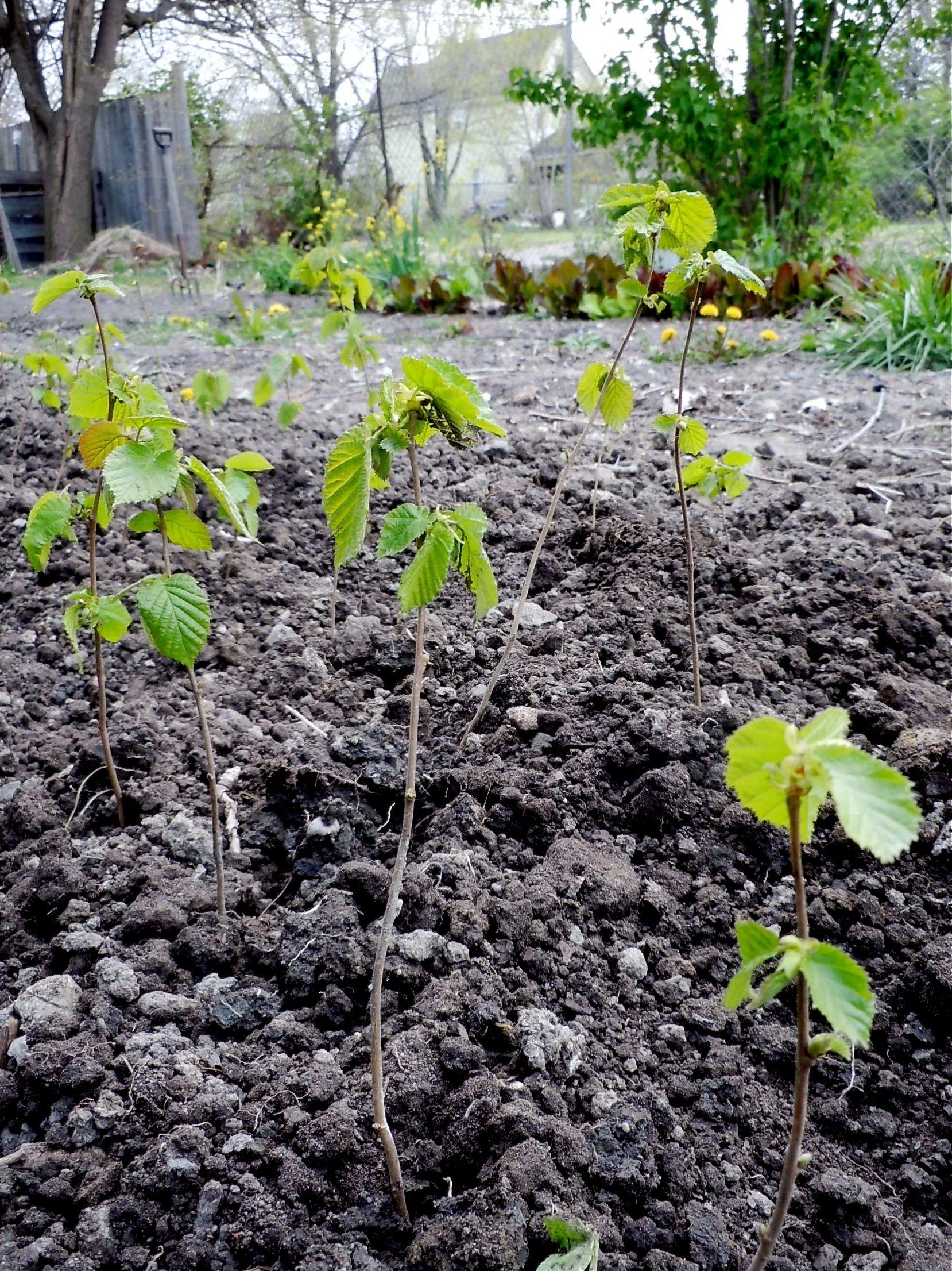 Transplanting Hazelnuts Little House On The Urban Prairie