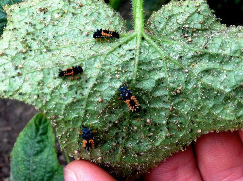 ladybirdbeetles